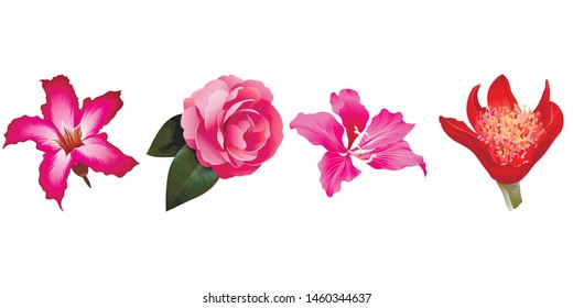 Pink Adenium. Pink Balsam. Pink Bauhinia Purpurea. Red Haemanthus Blood Lily. Vector illustration.  Floral botanical flower. Wild leaf wildflower isolated. Exotic tropical hawaiian jungle. Isolated .
