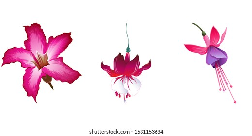 Pink Adenium. Red Fuchsia. Pink and Purple Fuchsia Bella. Vector illustration. Isolated illustration element. Floral botanical flower. Wild leaf wildflower isolated. Exotic tropical hawaiian jungle.