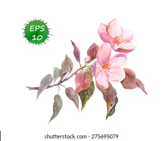 Pink apple tree flower. Orchard bloom. Botanical illustration - watercolor vector