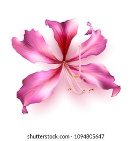Pink Bauhinia Purpurea isolated on white background. Vector illustration.