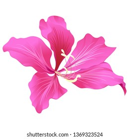 Pink Bauhinia Purpurea. Vector illustration. Floral botanical flower. Wild leaf wildflower isolated. Exotic tropical hawaiian jungle. Isolated illustration element.