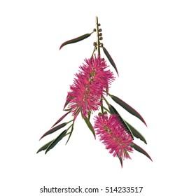 Pink Bottlebrush Flowers