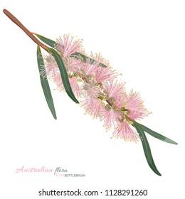 Pink bottlebrush Vector illustration on a white background