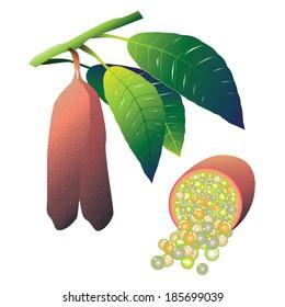 Pink finger lime (Microcitrus australasica) vector