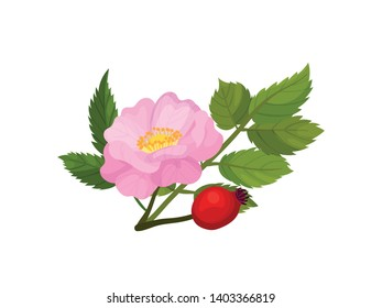 Pink flower with rosehip. Vector illustration on white background.