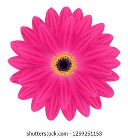 Pink gerbera bloom Isolated on White. Background Vector Illustration.
