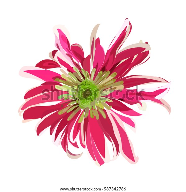 pink hand drawn chrysanthemum. isolated vector flower
