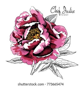 Pink large Chief Justice Peony with leaves. Vector illustration.