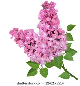 pink lilac branch isolated on white background