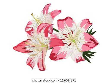 Pink lilies flower