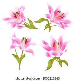 Pink Lily  Lilium candidum,flower with leaves and bud on a white background set two vintage vector illustration editable hand drawn