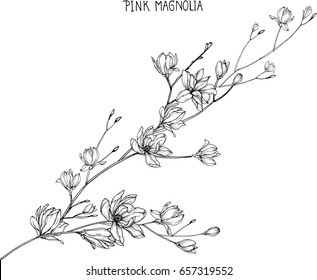 Pink magnolia  flowers drawing and sketch with line-art on white backgrounds.