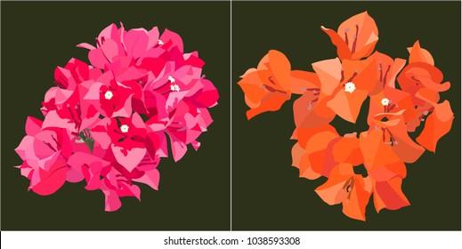 Pink and orange bougainvillea on dark green background, Vector minimal flat style