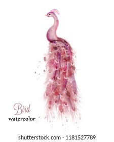 Pink peacock watercolor Vector. Colorful bird illustration painted styles