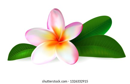 Pink plumeria flower. Realistic isolated frangipani illustration with green leaves oh white background