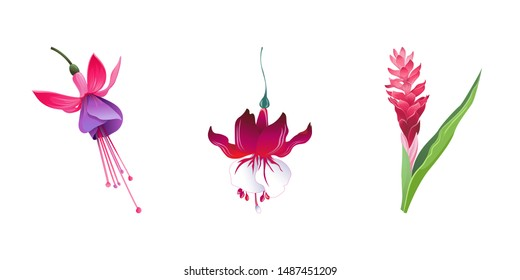 Pink and Purple Fuchsia Bella. Red Fuchsia. Red and Pink Ginger. Vector illustration. Isolated illustration element. Floral botanical flower. Wild leaf wildflower isolated. Exotic tropical hawaiian.