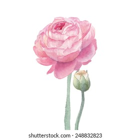 Pink ranunculus flowers. Watercolor hand drawn floral artwork isolated on white background. Vector botanical illustration