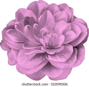 Pink Rose Camellia Flower isolated on white background, Vector