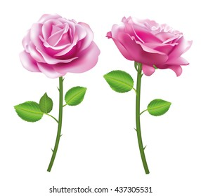 Pink Rose flower isolated on white background. Vector roses. Realistic flowers.