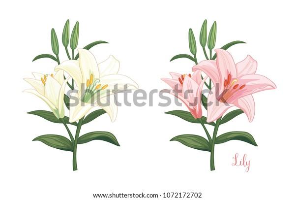 розовый и белый цветок лилии на белом фоне. Векторный набор цветущих цветов.