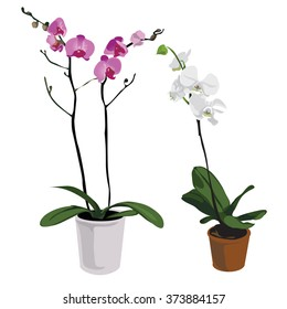 Pink and white Phalaenopsis. Vector.