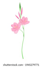 Pink wildflowers with buds on a white background