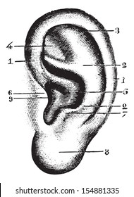 Pinna, vintage engraved illustration. Usual Medicine Dictionary - Paul Labarthe - 1885.