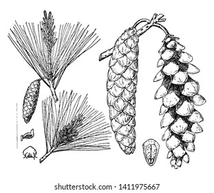 Pinus Strobus, commonly denominated the eastern white, northern white, white, Weymouth, and soft pine is native to eastern North America, vintage