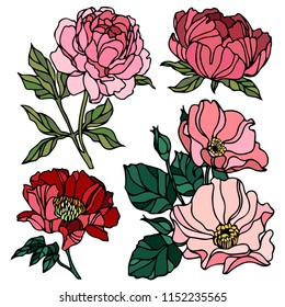 Pion and rose drawing flowers, Hand-drawn Wild Rose isolated. Botanical drawings, Colorful flowers on white background, Vector Briar Rose illustration