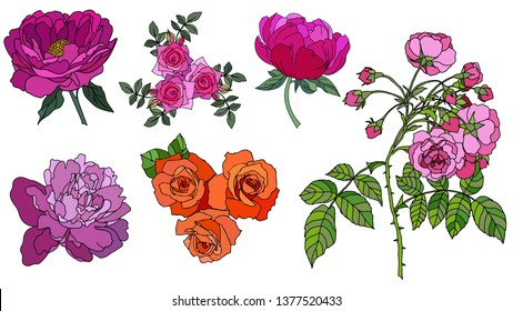 Pion and rose drawing flowers, Hand-drawn Wild Rose isolated. Botanical drawings, Colorful flowers on white background, Vector Briar Rose illustration - Vector