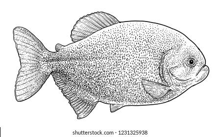 Piranha illustration, drawing, engraving, ink, line art, vector