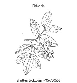 Pistachio (Pistacia vera). Hand drawn botanical vector illustration