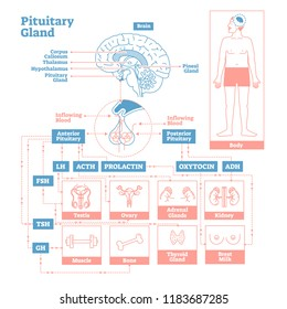Pituitary Gland of Endocrine System.Medical science vector illustration diagram.Biological scheme with prolactin,oxytocin and more hormones that affect testis,ovary,kidney and other human body parts.