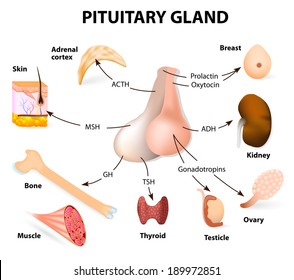 Pituitary Gland Images Stock Photos Vectors Shutterstock