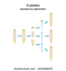 Planaria. reproduce by regeneration. When Planaria is cut into a number of pieces ,each piece of the body grows into a new organism. Vector diagram for educational, biological, and scientific use