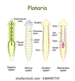 planarian Anatomy. Reproductive, Digestive, Excretory, and Nervous system. Gastrovascular cavity, Nerve cord, Ganglion, Testis and Ovary. Vector illustration for biological, educational, science use