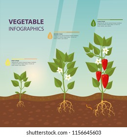 Plant with bell pepper for growth infographic. Infochart with sweet, red capsicum stages of foliage. Plant with roots and flowers, fetus for botany information poster. Agriculture theme