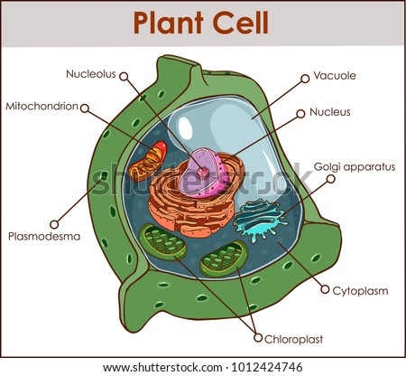 Plant Cell Anatomy Diagram Structure All Stock Vector (Royalty Free ...