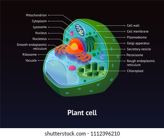 Plant cell diagram isolated on dark background, with chloroplast and other organelles. For presentations, books and education.