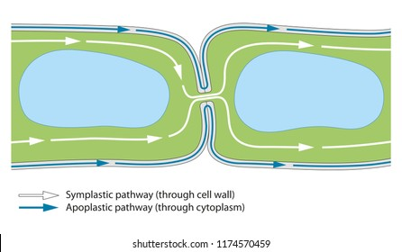 Plant cell. Plasmodesma