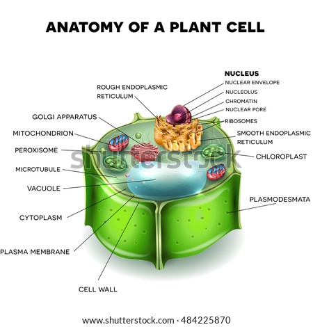 Plant Cell Structure Cross Section Cell Stock Vector Royalty Free