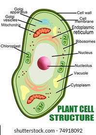 Plant cell structure, vector illustration (Helpful for Education & Schools)