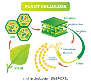 Plant cellulose biology vector illustration diagram with plant cell walls structure and fiber scheme.