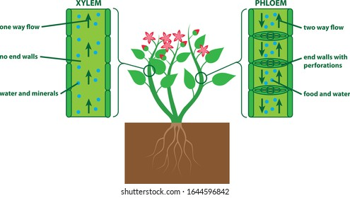 Plant diagram xylem and phloem