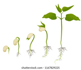 Plant growth evolution from seed to sapling graphic vector