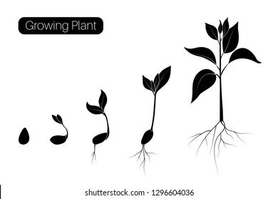 Plant growth phases infographic. Evolution germination progress concept. Seed, bean, sprout, tree growing organic agriculture. Flat vector illustration. Isolated black on white background.