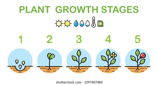 Plant growth stages infographics. Line art icons. Planting instruction template. Linear style illustration isolated on white. Planting fruits process.