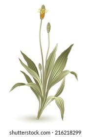 Plant lanceolata herbs