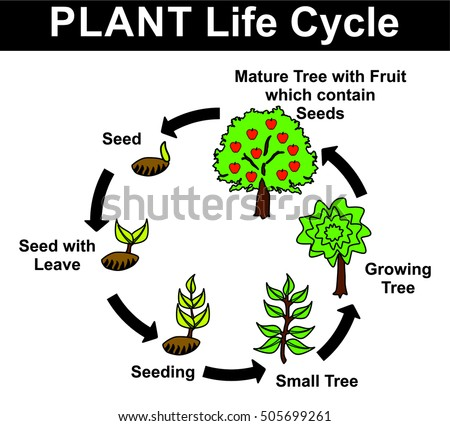 plant life cycle all stages seed のベクター画像素材 ロイヤリティ