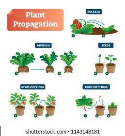 Plant propagation vector illustration diagram. Scheme with labels on suckers, division, seeds, stem and root cuttings. Biology, gardening and sprouts cultivation classic. Flower spores, and leaves.